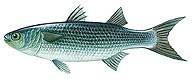 ][سمك البورى][