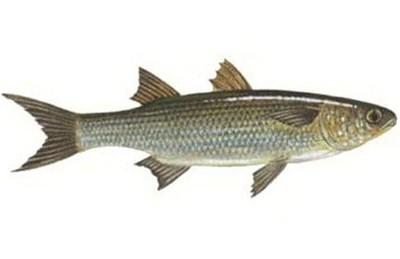 ][أنواع سمك البوري][