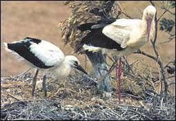 طيور اللقلق،، الطيور المائيــــــــة large_1238040064.jpg