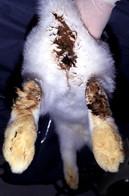 موسوعة أمراض الأرانب ( بالصور) Large_1238137830