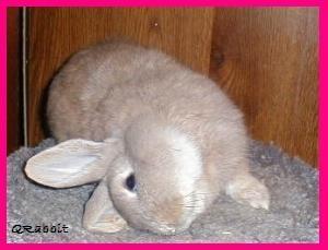 موسوعة أمراض الأرانب ( بالصور) Large_1238137859