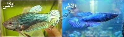 سمكة الفايتر أسماك الفايتر