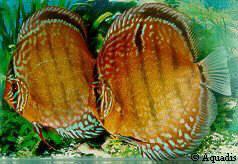 اجمل أنواع أسماك الزينة التي يمكن تربيتها بالصور