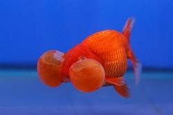 سمكة فقاعة العين سمكة طريفة اسماك الزينة