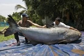 سمكة الميكونغ سمكة السلور العملاق