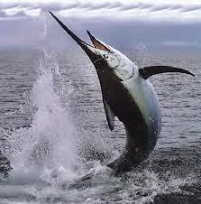 سمكة السيف