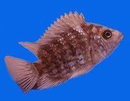 سمكة السيكلد أسماك السيكلد