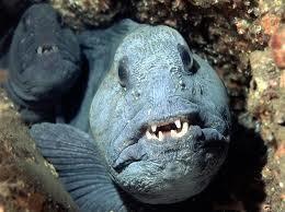 أسماك الماء Hoplias malabaricus
