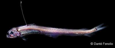 سمكة الأفعى الخبيثة
