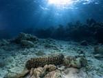حيوان خيار البحر خيار البحر